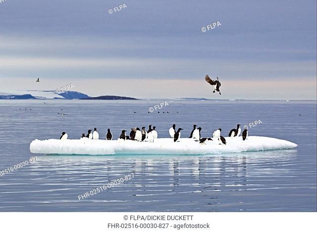 Brunnichs Guillemot Uria lomvia adults, summer plumage, flock standing on ice floe in offshore habitat, Spitzbergen, Svalbard, july
