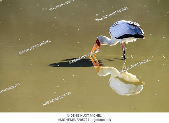 Kenya, Magadi lake, yellow-billed stork (Mycteria ibis), fishing