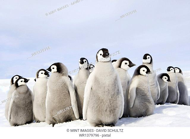A nursery group of Emperor penguin chicks, huddled together, looking around. A breeding colony