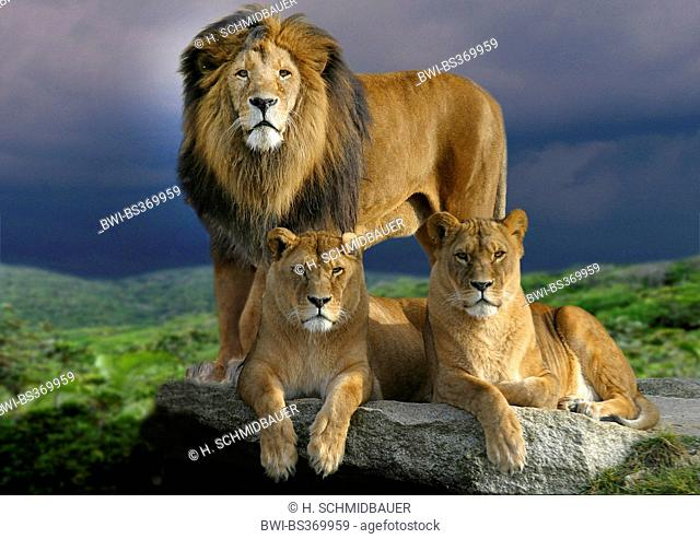 lion (Panthera leo), male lion with two lionesses on a rock, thundery atmosphere, Africa