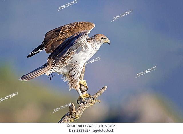 Catalonia, Pre-Pyrenees, Montsonis, Bonelli's eagle or Eurasian hawk-eagle, Hieraetus fasciatus or Aquila fasciata, picture taken from hide