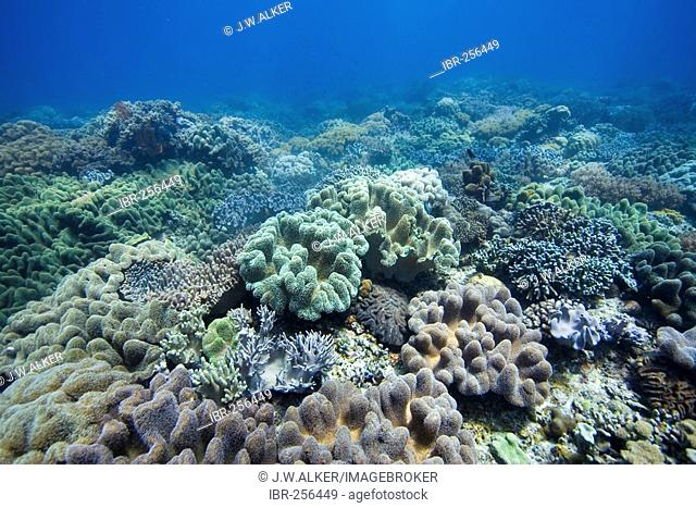 Coralreef covered with Mushroom soft corals Sarcophyton trochelioporum and Finger Leather soft Corals Sinularia spec., Philippines, Pacific Ocean