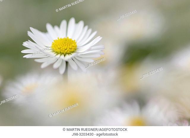 Daisy (Bellis perennis. Bavaria, Germany
