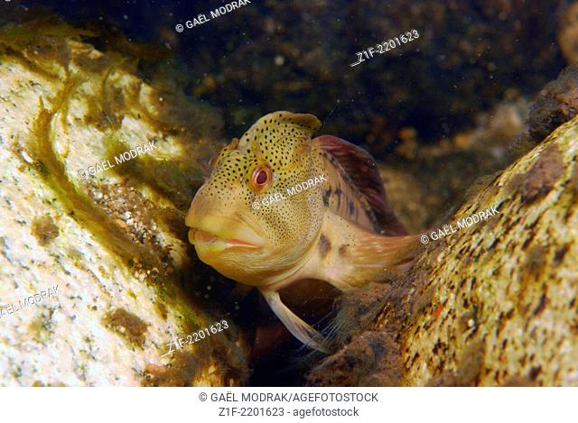 Male freshwater blenny in the river Rizzanese in the south of Corsica. Salaria fluviatilis