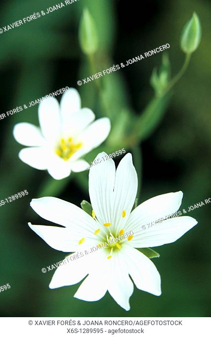 Addersmeat or Greater Stitchwort - Stellaria holostea -