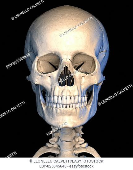 Very detailed and scientifically correct, human skull, front view, on black background. Anatomy image. Clipping path included