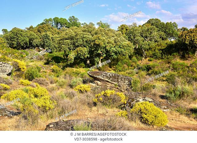 Evergreen oak, holly oak or holm oak (Quercus ilex rotundifolia or Quercus ballota) is a evergreen tree native to Iberian Peninsula and north Africa