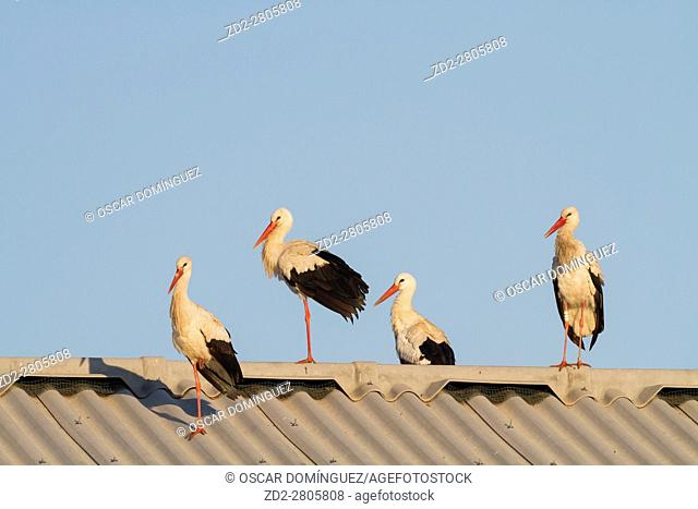 White stork (Ciconia ciconia) group on farm roof near Ivars Lake. Lleida province. Catalonia. Spain