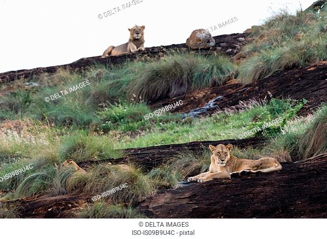 Lioness and male lion (Panthera leo) resting on a Kopje known as Lion Rock in Lualenyi reserve, Tsavo, Kenya