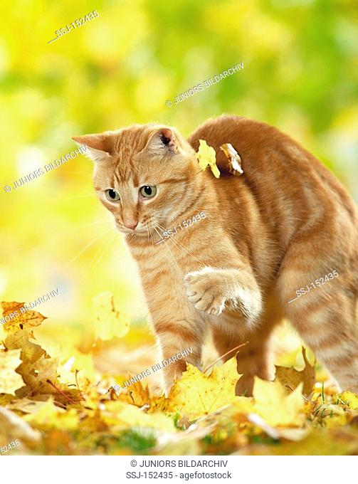 domestic cat - playing with foliage