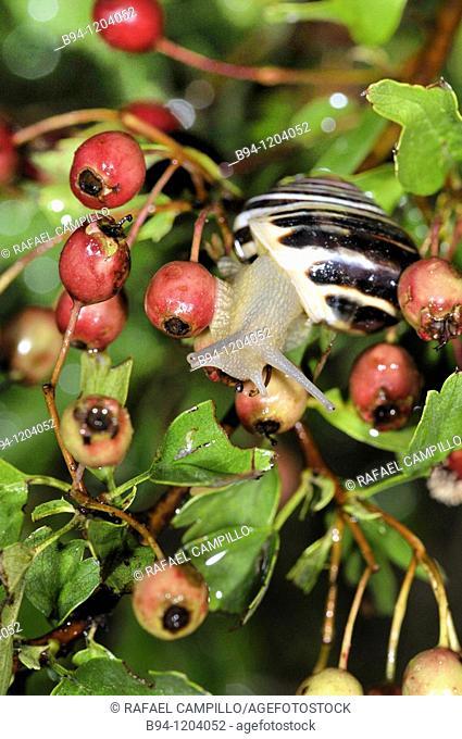 Snail on Hawthorn plant (Crataegus monogyna, fam. Rosaceae). Osseja, Languedoc-Roussillon, Pyrenees Orientales, France