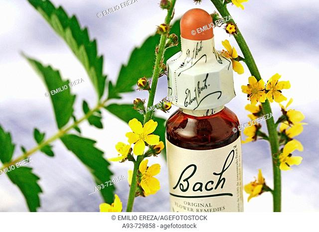 Agrimony (Agrimonia eupatoria). Bach's floral remedy