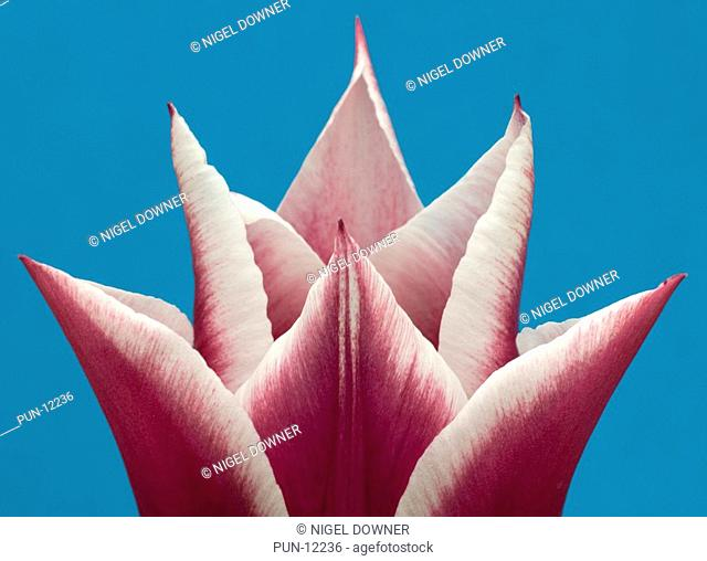 Close-up abstract pattern of a single pink and white tulip flower set against a blue background in a Norfolk garden