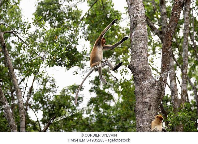 Malaysia, Sabah state, Labuk Bay, Proboscis monkey or long-nosed monkey (Nasalis larvatus)