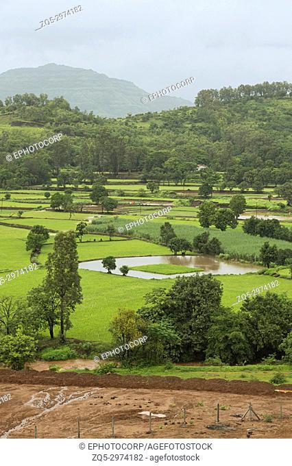 View of rice farming near Mulshi Dam Pune, Maharashtra