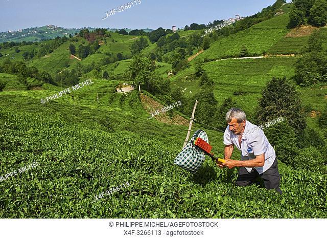 Turkey, the Black Sea region, tea plantation in the hills near Trabzon in Anatolia