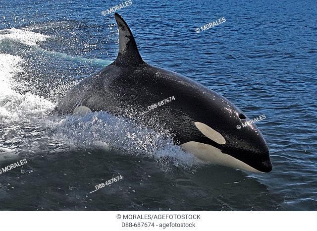 Orca jumping. Killer whale (Orcinus orca) Family: Delphinidae. Order: Cetacea. Johnstone strait. British Columbia. Canada