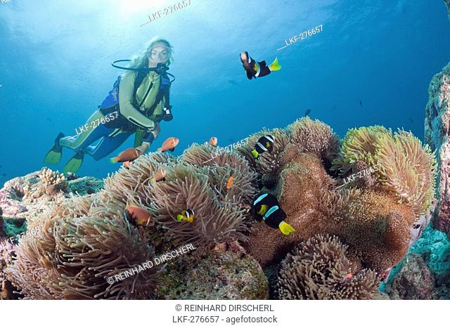 Diver with Magnificent Anemone with Maldive Anemonefish and Clarks Anemonefish, Heteractis magnifica, Amphiprion nigripes, Amphiprion clarkii, Maldives