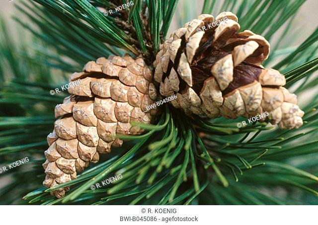 European black pine, Austrian pine, Black Pine, Corsican Pine (Pinus nigra), ripe cones