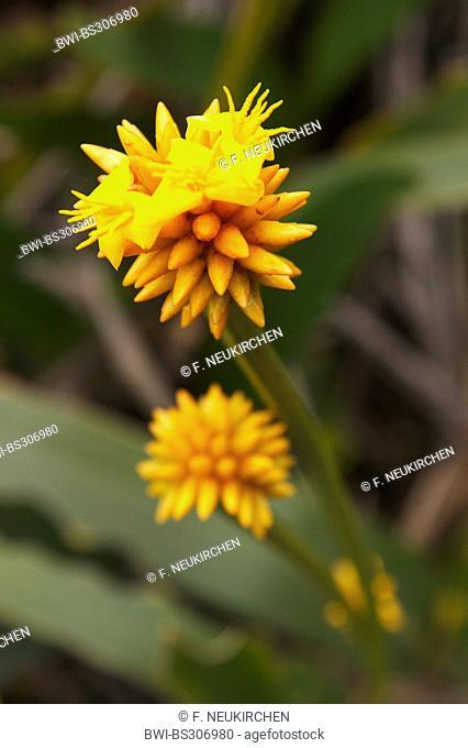 Stegolepis guianensis (Stegolepis guianensis), blooming, Venezuela, Canaima National Park, Roraima Tepui