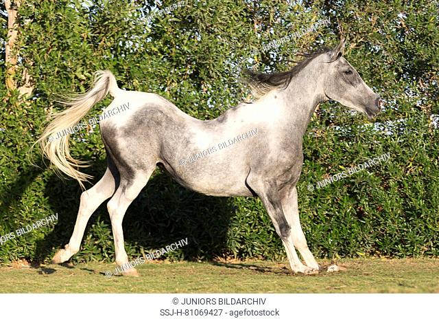 Arabian Horse. Pinto mare with a sway in its back. Egypt