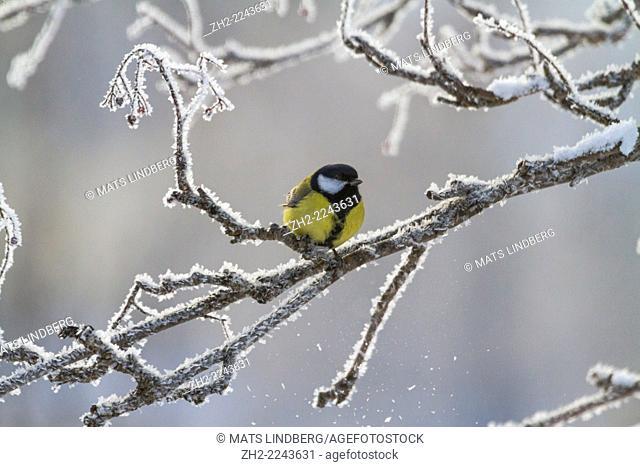Great tit, Parus major, sitting in frosty tree
