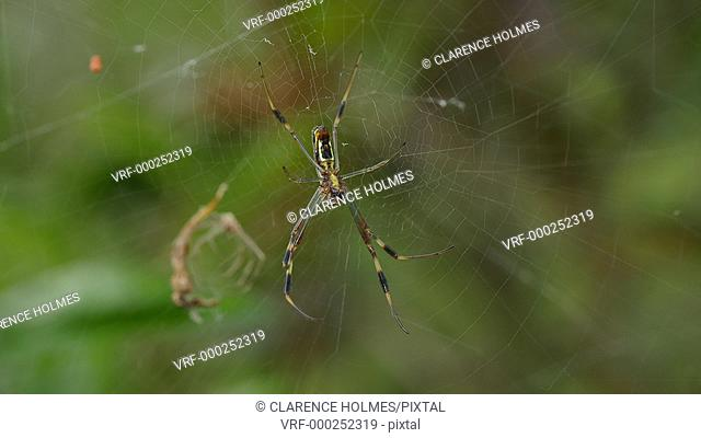 An immature female Golden Silk Orbweaver (Nephila clavipes) perches at the center of her web