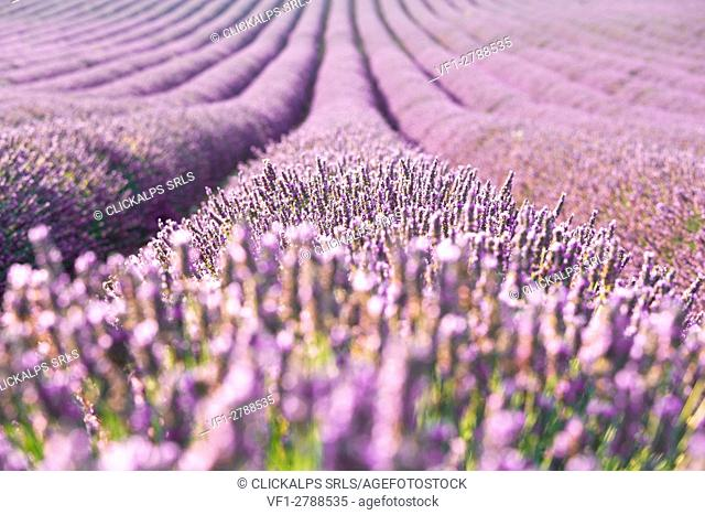 Europe, France,Provence Alpes Cote d'Azur,Plateau de Valensole