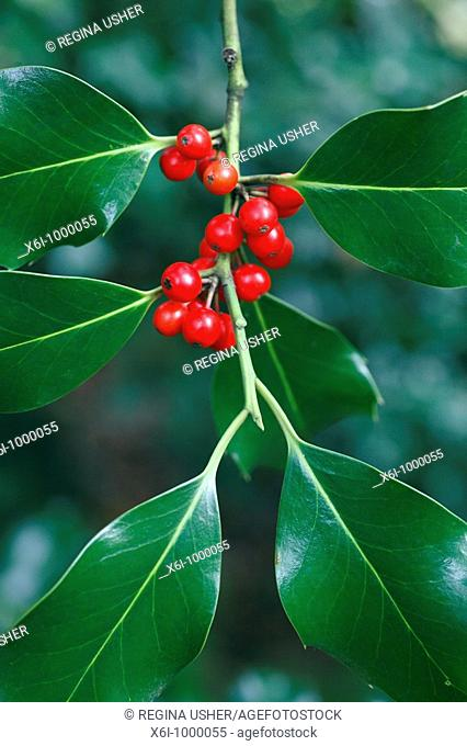 Holly Ilex aquifolium, close up of berries and leaves, Germany