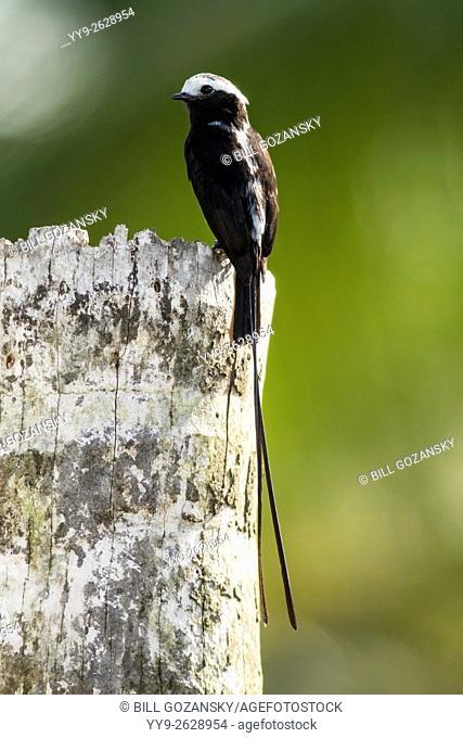 Male Long-tailed Tyrant (Colonia colonus) - La Laguna del Lagarto Lodge - Boca Tapada, San Carlos, Costa Rica