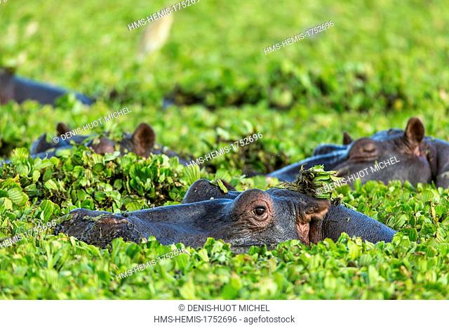 Kenya, Masai-Mara game reserve, Hippopotamus (Hippopotamus amphibius), male in water lettuces