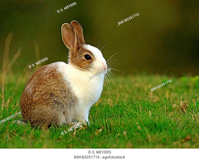 European rabbit (Oryctolagus cuniculus), in a meadow, with partly white fur, patial leucism, Germany, Schleswig-Holstein, Sylt