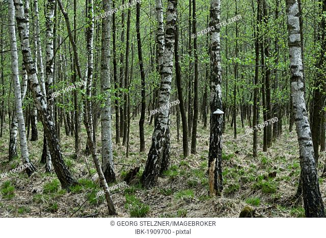 Birch plantation area, birch trees (Betula), with tree fungus in spring, Moenchbruch nature reserve, Hesse, Germany, Europe