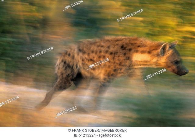 Spotted Hyena, Laughing Hyena or Cape Wolf (Crocuta crocuta) on the run