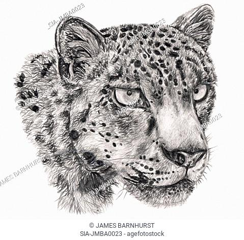 Wild cat head on white