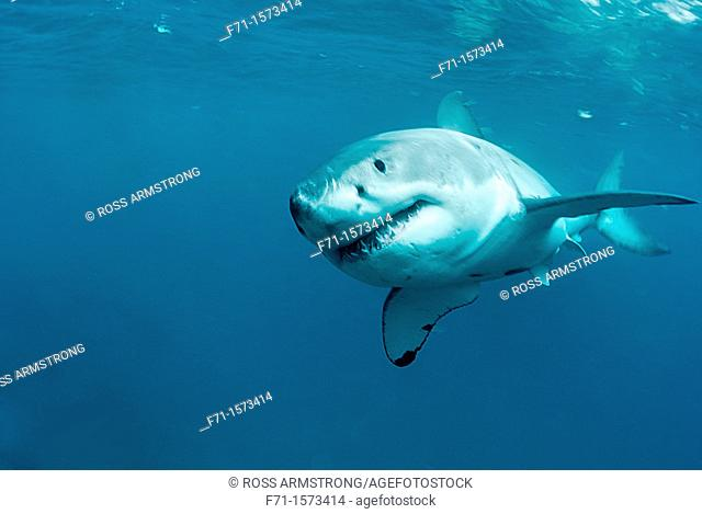 Great white shark Carcharodon carcharias Stewart Island, New Zealand