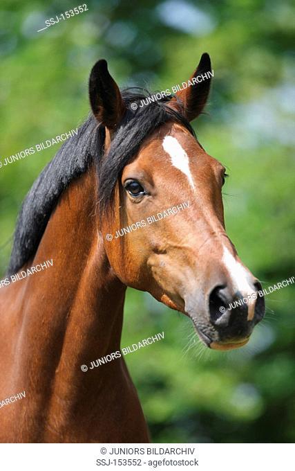German Riding Pony - portrait
