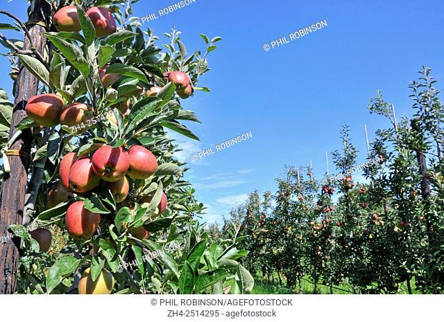 Boughton Monchelsea village, Maidstone, Kent, UK. Commercial apple orchard