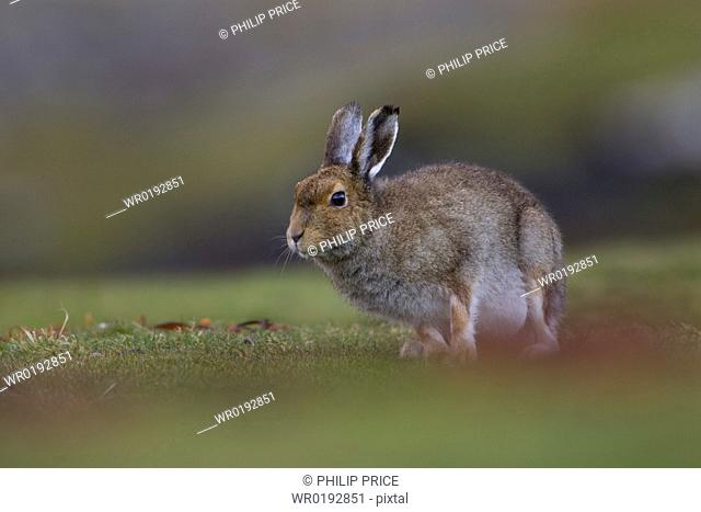 Irish Hare Lepus timidus, sub species hibernicus grazing on a coastal grassy knoll Argyll and the Islands, Scotland, UK