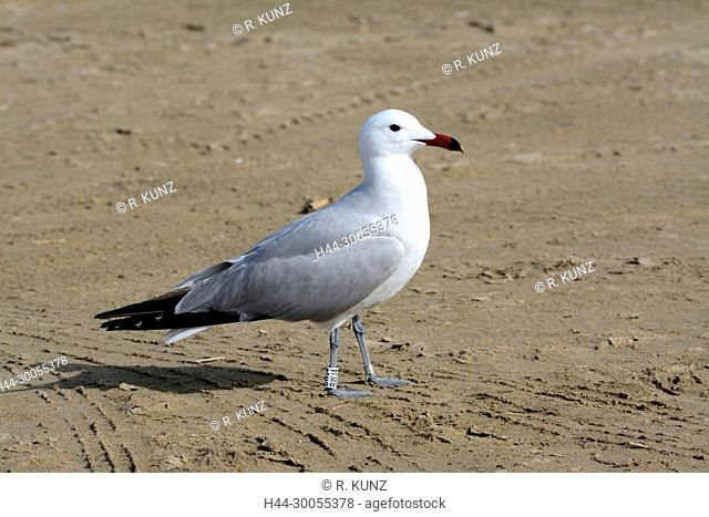 Audouin's Gull, Larus audouinii, Laridae, Gull, adult, breeding plumage, bird, animal, Ebro Delta, Province of Tarragona, Catalonia, Spain