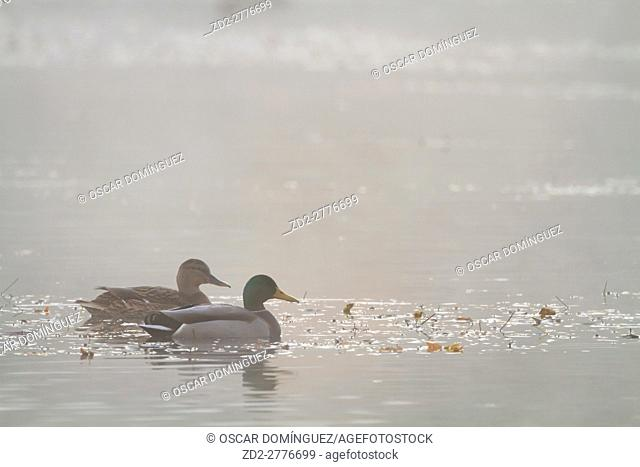 Mallard (Anas platyrhynchos) pair swimming on water. Lower Silesia. Poland