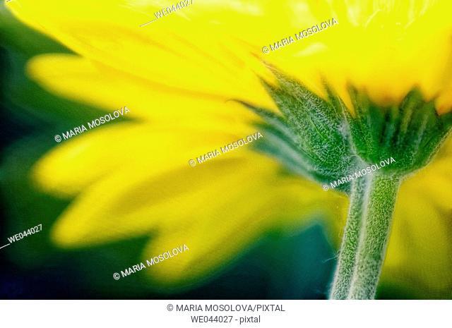 Transvaal daisy. Gerbera jamesonii. May. Maryland, USA