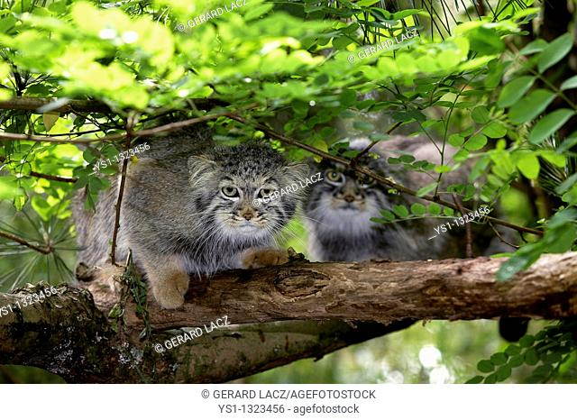 MANUL OR PALLAS'S CAT otocolobus manul, PAIR ON BRANCH UNDER FOLIAGE