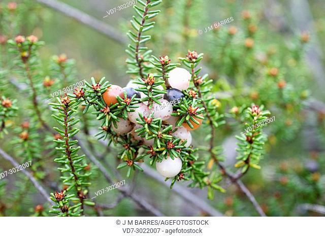 Camarina (Corema album) is a shrub endemic to atlantic coast of Iberian Peninsula, from Cadiz and Portugal to Galicia. This photo was taken in Coto de Donana...