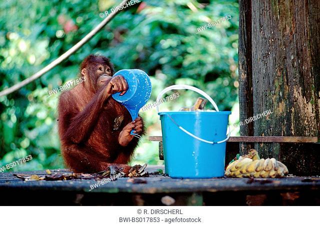 orang-utan, orangutan, orang-outang (Pongo pygmaeus), feeding, Malaysia, Sabah, Sepilok
