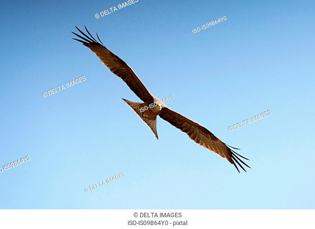 Yellow-billed kite (Milvus parasitus), in flight, Khwai Concession, Okavango Delta, Botswana, Africa