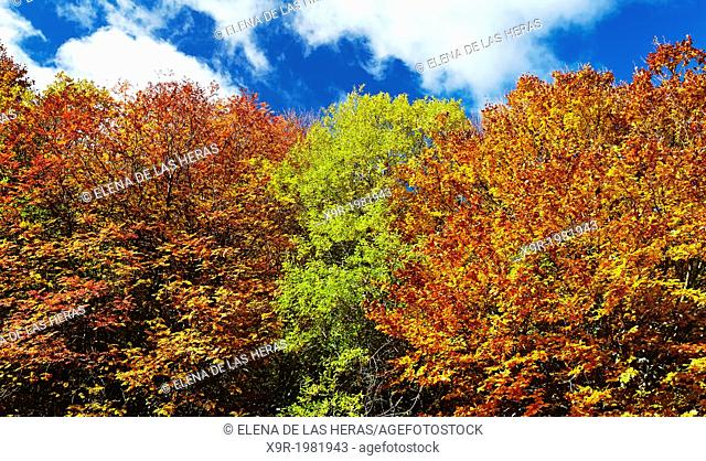 "Autumn at the Beech wood """"Hayedo de Tejera Negra"""" Nature Reserve, in the township of Cantalojas. Sierra de Ayllon. Guadalajara province"