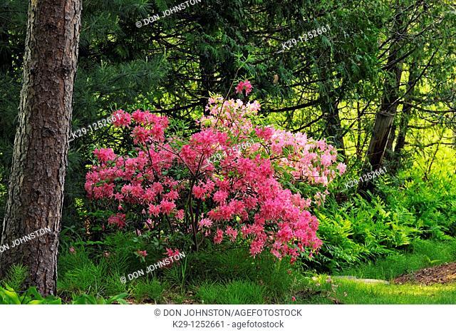 Azalea blooms among the pines. Ontario. Canada