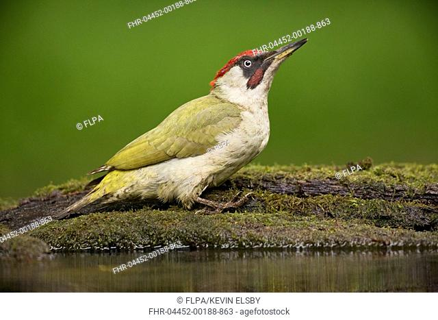 European Green Woodpecker (Picus viridis) adult male, standing at pool in woodland, Debrecen, Hungary, April