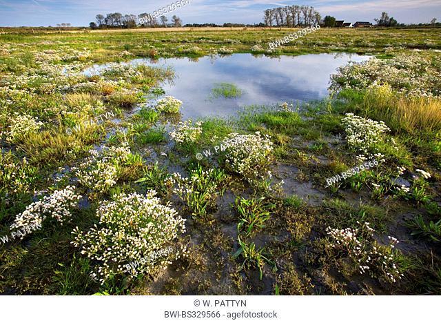 Sea aster (Aster tripolium), blooming in a salt marsh, Belgium, Dudzeelse polder, Zeebrugge